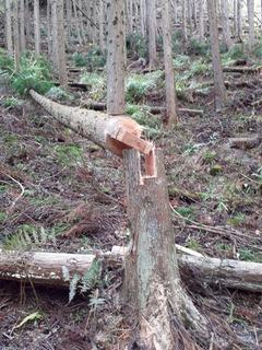偏芯木伐倒15.jpg